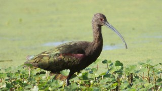 White-faced-Ibis5