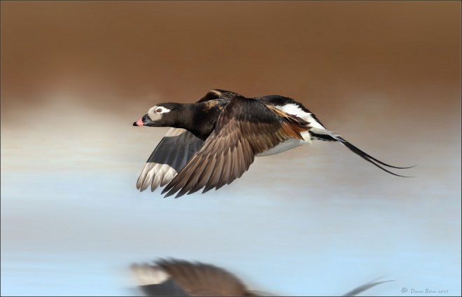 long-tailed-duck-flyby