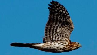 redtailedhawk_flight