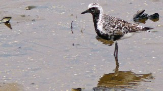 BlackBellied-Plover