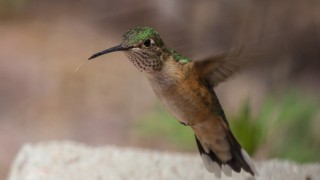 A Broad-tailed Hummingbird hovers near Laura's feeder at Water Canyon. Photo by Laura Erickson.