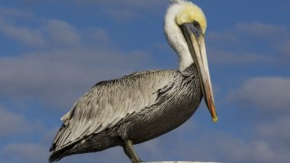 Brown-Pelican-2