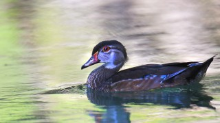 Female-woodduck-2sm
