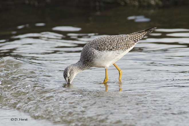 Greater-Yellowlegs-5