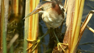 Least-Bittern-in-the-reeds