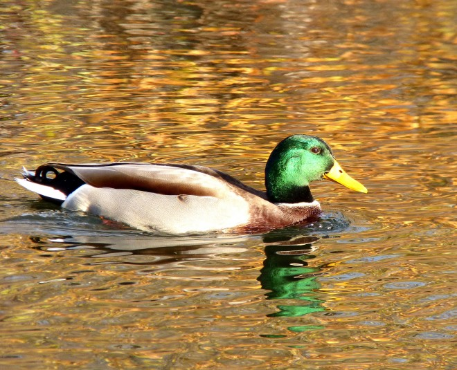 MALE-MALLARD-REDUCEDSIZE