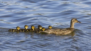 Mallard-Ducklings