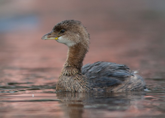 Pied-billed-Grebe-3