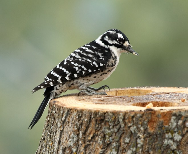 Woodpecker-Nuttalls-2013-11-02-048