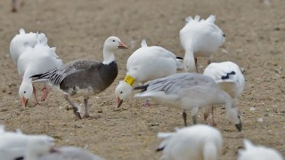 bobvt_20131117_deadcreek_snowgoose100