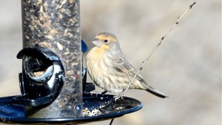 bobvt_20131120_housefinch1