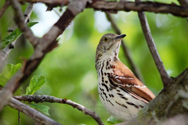 brown-thrasher-123-1280x853