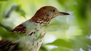 brown-thrasher-AB-5184x3456-1280x853