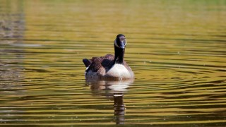 candian-goose-late-beauty-1280x893
