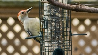 red-belly-woodpecker-1