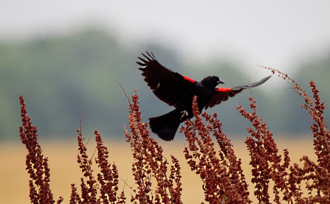 red-winged-blackbird-6
