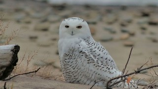 1-Snow-Owl-Dec-2013_73