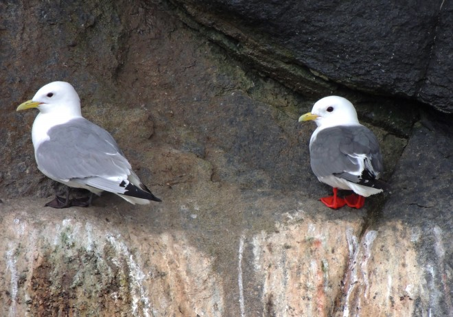 Black-legged-Red-legged-Kittiwakes-02