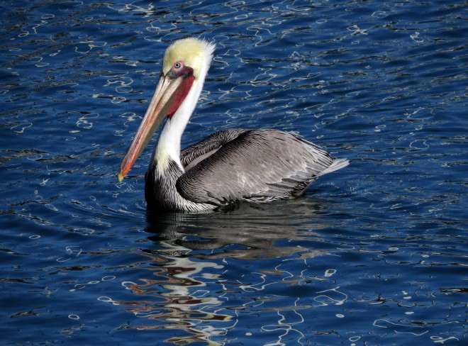Brown-Pelican-SX50