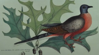 Mark Catesby included this rendering, the first colored drawing of a Passenger Pigeon, in The Natural History of Carolina, Florida, and the Bahama Islands (1729–1747). From the collection of Garrie Landry