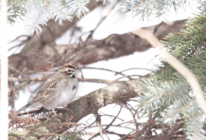 Copy-1-of-Lark-sparrow77