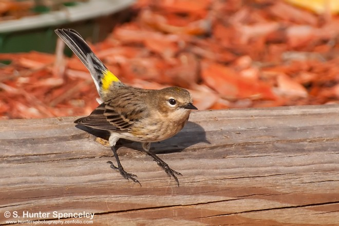 DSC_7412-Yellow-rumped-Warbler