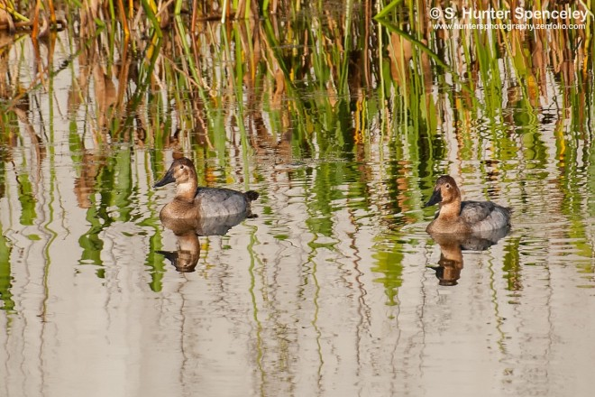 DSC_7626-Canvasback-Ducks
