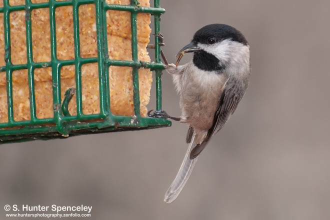 DSC_7957-Carolina-Chickadee
