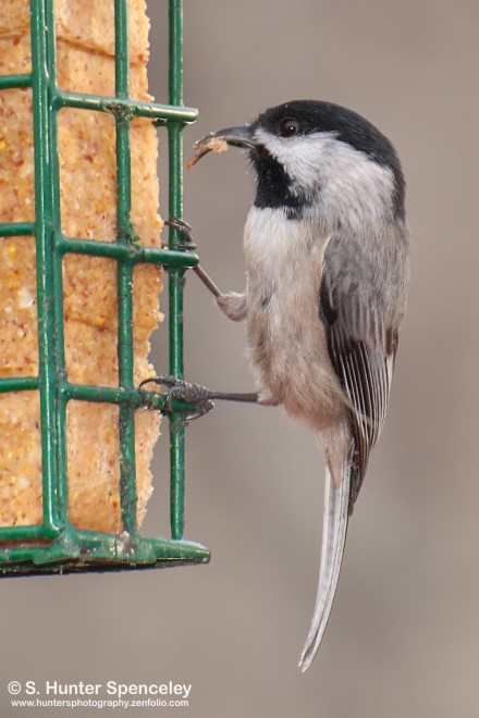 DSC_7966-Carolina-Chickadee