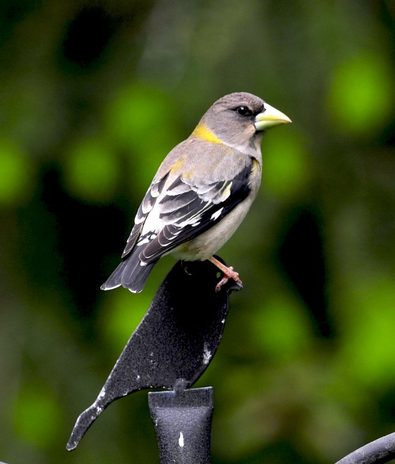 Female-Evening-Grosbeak-May-2011