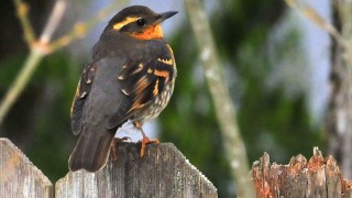 Female-varied-thrush-on-fenc-12-9-13
