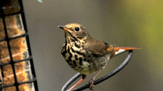 Hermit-thrush-Dec-2011