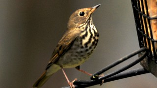 Hermit-thrush-Dec-20111