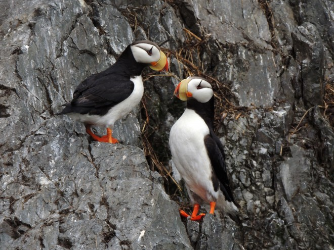Horned-Puffins-11