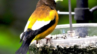 Male-Evening-Grosbeak-May-2011