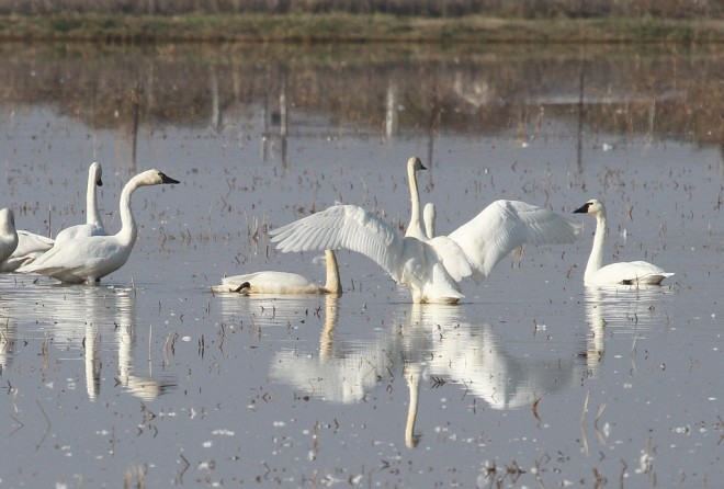 Tundra Swans in rice paddies, Yuba County, California, by vmiller.