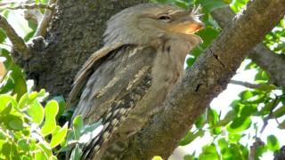 Tawny-frogmouth-10-9