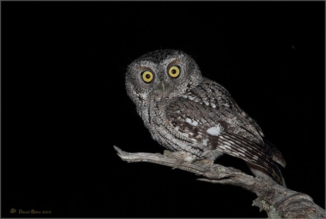 Whiskered-Screech-Owl
