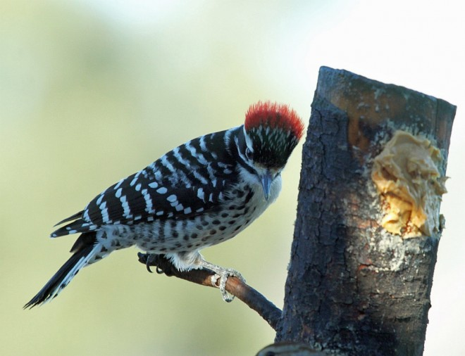Woodpecker-Nuttalls-2013-12-20-024