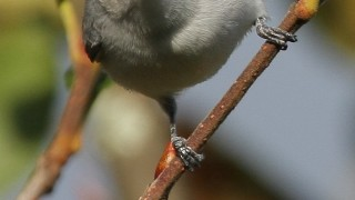 aaBLUE-GRAY-GNATCATCHER755
