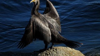 birdwatchingcormorant2013