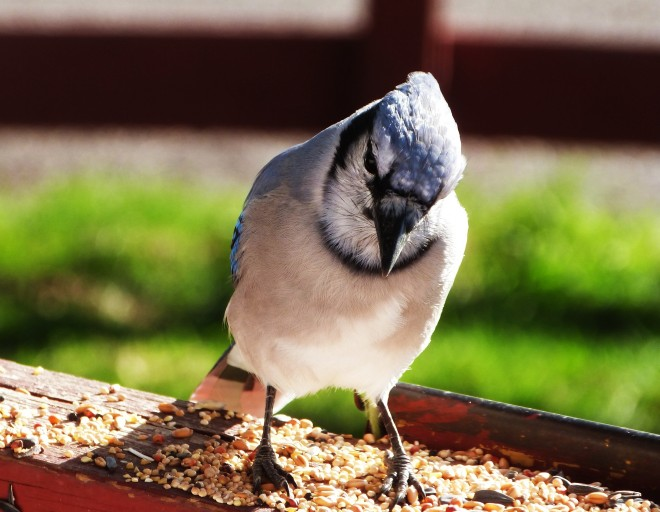 blue-jay-on-ledge-1
