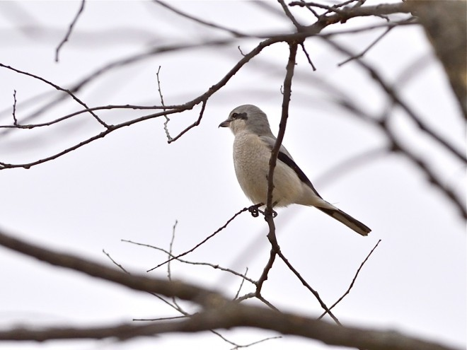 bobvt_20131201_northernshrike5