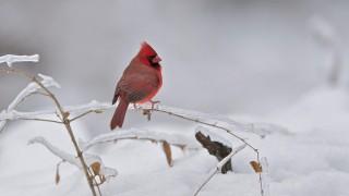 bobvt_20131229_cardinal_7004