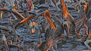 0214_Fieldcraft_pelicans-gulls
