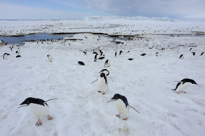 Hundreds of Adélie Penguins gather on Ross Island in Antarctica. Photo by David Grémillet