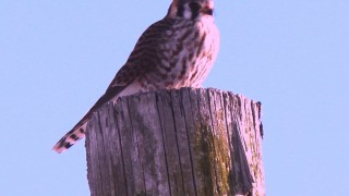 American-Kestrel-female-II