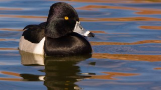 Ring-necked Duck at St. George, Utah, January 27, 2014, by redfish.