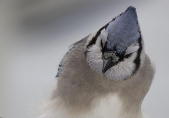 Blue-Jay-in-Snow