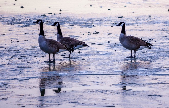 Canadian-Geese-over-Frozen-Potomac